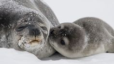 Scientists are searching for Antarctic seals using satellite imagery—and you can help