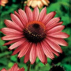 Bountiful blooms from late spring until fall on carefree, sun-loving plants!