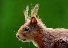 Squirrel, Nager, Brown, Nature, Fur