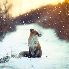 Winter Fox Photography | Bored Panda