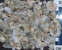 http://www.terradaily.com/reports/Unusual_cancer_spreads_among_clams_off_N_America_999.html Mysterious cancer spreads among clams off N. America
