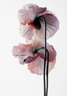 "I came across this photo and saved it my ""art inspo"" album, but I don't know who took the photo. Isn't it beautiful? What's your current inspiration? Art Floral, My Flower, Beautiful Flowers, Exotic Flowers, Pink Flowers, Flowers Wallpaper, Foliage Plants, Botanical Art, Belle Photo"