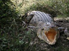 Salt-Water Crocodile by Ziaus Shams, via Flickr