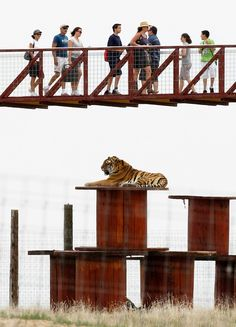 Visitors walk on a new elevated walkway as they pass by a rescued tiger at The Wild Animal Sanctuary on the prairie near Keenesburg, Colorado. (Reuters)
