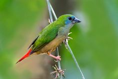 The pin-tailed parrotfinch (Erythrura prasina) is a common species of estrildid finch found in Southeast Asia: Malaysia, Brunei, Cambodia, Indonesia, Laos, Burma, & Thailand. It has an estimated global extent of occurrence of 10,000,000 km2. It is found in subtropical/tropical in both montane & lowland moist forest, & is also found in bamboo thickets & rice plantations. Flocks of this species can do great damage to rice crops, & in parts of its range it is classed as a pest.