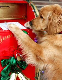 #Christmas #dog #golden ToniK FurBalls #Winter #photography