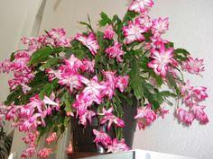Zygocactus Truncatus Plants Seeds,Cactus Flowers Schlumbergera Indoor for sale online Flower Care, Planting Flowers, Plants, Rare Flowers, Zygocactus, Beautiful Flowers, Flowers, Blooming Flowers, Flower Seeds