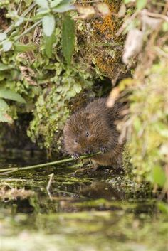 1000 images about voles on pinterest water northern