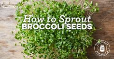 Learn to sprout broccoli, radish, cabbage, and other brassica seeds with these easy step-by-step instructions. Growing Broccoli, Broccoli Sprouts, Tuna Fish Recipes, Raw Food Recipes, How To Make Sprouts, Fruits And Vegetables, Veggies, Sprouting Seeds, Bakken