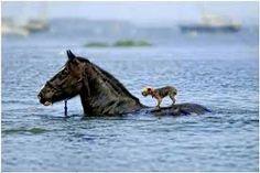 Caballo y perro nadando