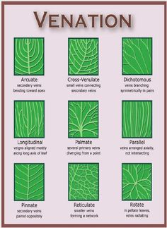 Leaf structure and arrangement is unique to every tree species. A tree leaf shape, arrangement, margin and venation is important to tree ID. Leaf Structure, Flower Structure, Illustration Inspiration, Tree Identification, Plant Science, Science Table, Nature Journal, Nature Study, Tree Leaves