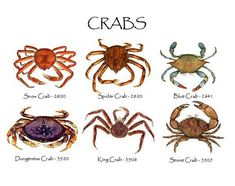 Set Includes: Snow Crab, Spider Crab, Blue Crab, Dungeness Crab King Crab and Stone Crab. Crab Illustration, Technical Illustration, King Pic, Crab Trap, Crab Tattoo, Stone Crab, Crab Shells, Nautical Prints, Sea Creatures