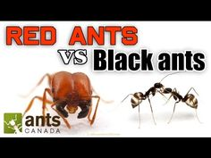 Watch: A fascinating look at red and black ants. Ant Colony, Black Ants, Fire Ants, Check Up, Pets, Videos, Cute Animals, Watch, Youtube