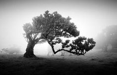 Haunting Black and White Photos Capture the Eerie Enchantment of Madeira's Ancient Trees Laurel Tree, Portugal, Sea Sculpture, Misty Day, Shadow Photos, Old Trees, Tree Branches, Nature Color Palette, Malibu Beaches