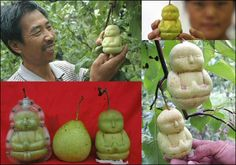 "Buddha Pears* Catalyzing Change ""Something almost magical happened when a clever Chinese farmer (Hao Xianzhang) took a very Zen approach to growing ordinary fruit. He created tiny praying Buddhas out of pears by encasing the young pears in molds while they're still on the tree. As they grow they have no choice but to take the shape of the spiritual figure...it must be something all together amazing to see an orchid of pear trees growing hundreds of tiny Buddhas."""