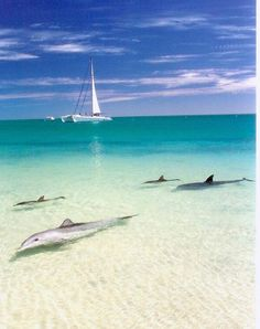 Dolphins coming to shore at Monkey Mia, Western Australia. I would love to visit this place because they are famous for having many dolphins around the shore. also I have always wanted to be swim and chill with dolphins. Places Around The World, The Places Youll Go, Places To See, Western Australia, Australia Travel, Perth Australia, Dream Vacations, Vacation Spots, Vacation Places