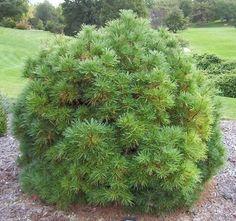 dwarf white pine | Pinus strobus 'Merrimack' – Dwarf Eastern White Pine