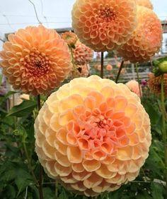 Snoho Doris- Ball Dahlia - Blush Peach-Good cut flower.