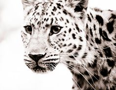 Hey, I found this really awesome Etsy listing at https://www.etsy.com/listing/109536631/leopard-wall-art-fine-art-sepia