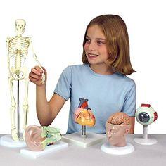 Anatomical Chart Company Miniature Skeleton Anatomical Model | allheart.com