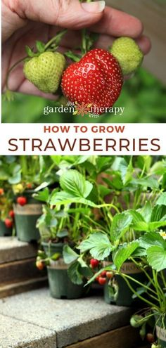 Growing Strawberries: Everything You Need to Know - Garden Therapy - - Growing strawberries is simple and delicious! Learn 4 ways you can use to learn how to grow strawberries, plus what to do with them once you harvest. Strawberry Planters, Strawberry Garden, Fruit Garden, Strawberry Syrup, Edible Garden, Growing Strawberries In Containers, Grow Strawberries, Growing Vegetables, Growing Plants