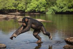 Much like one of his human contemporaries would, one of the apes dodges the water by jumpi...