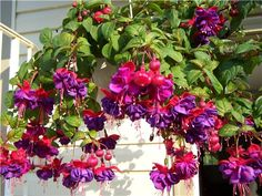 Hanging fuchsia basket. My favorite hanging plant