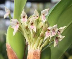 Maxillariella densa Green Terrace, Terrace Garden, Rare Flowers, Orchid Flowers, Cactus, Orchidaceae, Exotic, Bloom, Shop Ideas
