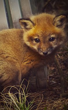 Awwwwwwwwn so cute baby fox *-* So Cute Baby, Cute Babies, Cute Creatures, Beautiful Creatures, Animals Beautiful, Cute Baby Animals, Animals And Pets, Wild Animals, Especie Animal