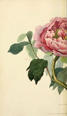 New Ideas Flowers Peonies Vintage Botanical Illustration Vintage Prints, Floral Vintage, Botanical Drawings, Botanical Prints, Botanical Flowers, Illustration Botanique, Illustration Art, Peony Flower, Flower Art