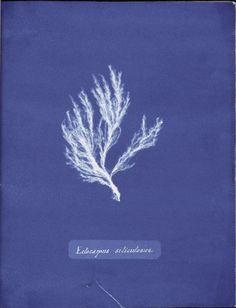 Ectocarpus siliculosus. (1843-1853)