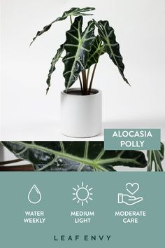 Indoor Plants ALOCASIA POLLY Stunning dark green leaves with silver-white veins make this indoor pla