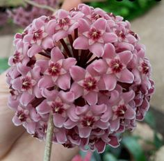Hoya carnosa growing succulent vine of the genus Hoya also known as Wax plant…