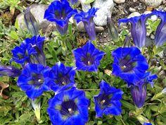 Ich liebe das Blau der Enzian