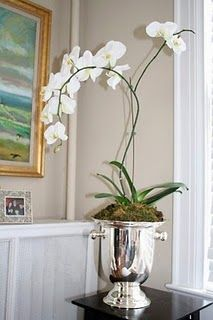 gorgeous potted orchid