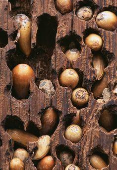 acorns saved, uncredited