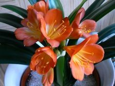Clivias are beautiful flowering #houseplants but are very poisonous plants. http://www.houseplant411.com/houseplant/clivia-plant