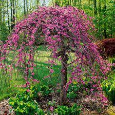 hausbäume für kleine gärten | gardens, garten and plants - Baume Fur Den Vorgarten