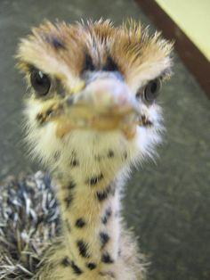 Google Image Result for http://s3-ec.buzzfed.com/static/imagebuzz/terminal01/2009/2/18/11/angry-baby-ostrich-25711-1234974930-4.jpg