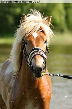 Finnhorse Draft Horse Breeds, Draft Horses, Suffolk Punch, Fjord Horse, Mini Pony, Pony Horse, Horse World, Clydesdale, Beautiful Horses
