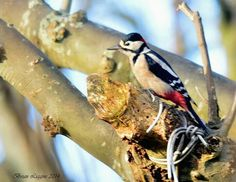 Great Spotted Woodpecker, Isle of Man