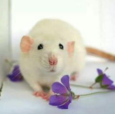 Lady's Rats