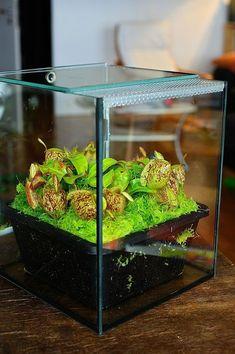 N ampullaria Lowland species Carnivorous Plants
