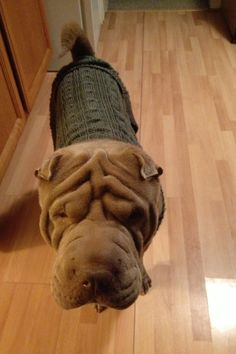 Sweetest shar pei ever