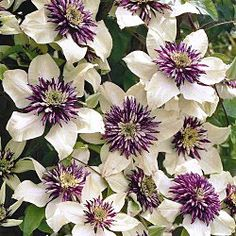 PASSION FLOWER CLEMATIS: An eye-catching variety perfect for adorning arbors, posts and trellises. BUTTERFLIES!