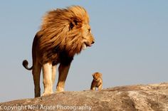 Lion and cub   # Pin++ for Pinterest #