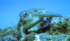 Turtles @ Sodwana Bay - KwaZulu Natal, South Africa Olive Ridley, Kwazulu Natal, Water Life, Sea Turtles, Africa Travel, Ocean Life, Marine Life, Oceans, Scuba Diving