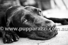 Black Labrador  Melbourne Pet Photography www.pupparazzi.com.au