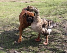 """Renata Kursa, a villager from Poland, says she was heartbroken after her dog Baks lost his sight in a recent accident. But her four-year-old goose Buttons was more than happy to lend her eyes to Baks, leading him with her neck, or directing him with her honks. """"[G]radually Buttons got him up on his feet and starting walking him around,"""" says Kursa. """"They're inseparable now - they even chase the postman together."""""""