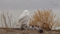 """Snowy Owl by Joshua Clark on 500px. """"Another Snowy Owl from Presque Isle State Park in Pennsylvania. Fog was rolling in off of Lake Erie as a light rain was falling in this image. """""""